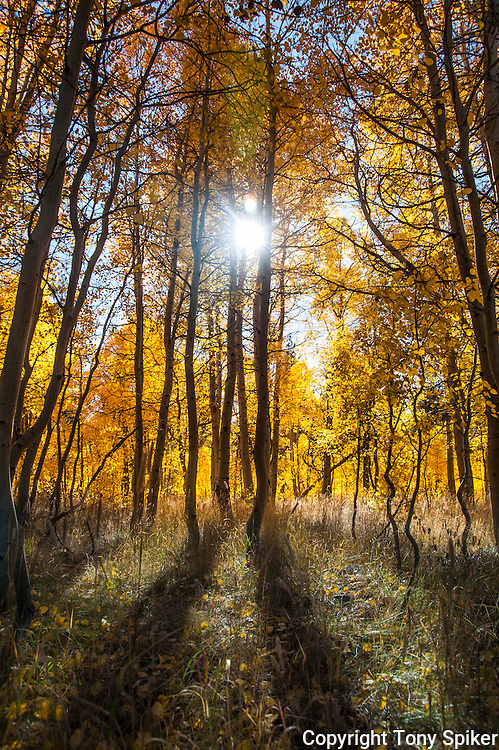 """Fall Aspens 3"" - A photograph off fall aspens in South Lake Tahoe"