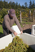 Man dumping bucket of freshly  picked Madeleine Angevine grapes.