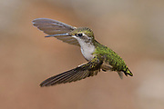 Ruby Throated Hummingbird in flight, Bass Harbor, Maine