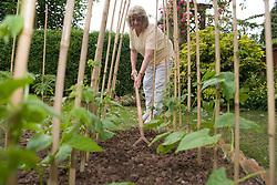 Woman hoeing between rows of runner beans,
