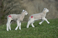 © Licensed to London News Pictures. 11/03/2016. Sedbergh, UK. Lambs in the spring sunshine near Sedbergh, Cumbria. Photo credit : Anna Gowthorpe/LNP