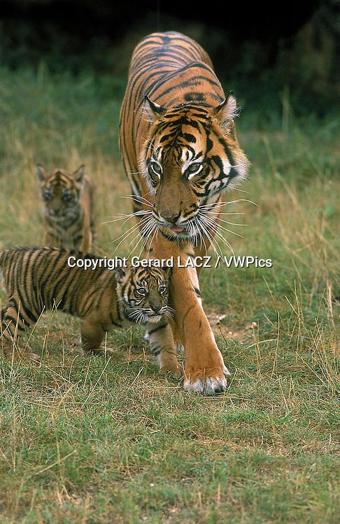 Sumatran Tiger,   panthera tigris sumatrae, Mother and Cub