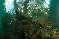"""A free root system below a tree in a river. Bonito, Mato Grosso Sul, Brazil. Photographed while filming Tales by Light, Season 2, Episode 3, """"Misunderstood Predators"""", for Netflix and National Geographic Australia. August, 2016."""