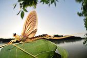 Mayfly | Eintagsfliegen