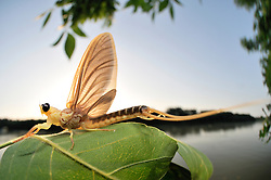 Immediately after hatching from their aquatic larval skin the subadult male long-tailed mayfly (Palingenia longicauda) flies towards the river bank to land on a leaf. Here it will undergo its last moult, before it is going to mate and dy, all within only a  few hours. Tisza blooming (Tiszavirágzás). It is when millions of long-tailed mayflies (Palingenia longicauda) are rising in huge clouds, reproduce, and perish, all in just a few hours.