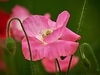 Pink Poppy. Image taken with a Nikon D850 camera and 200-500 mm f/5.6 VR lens.
