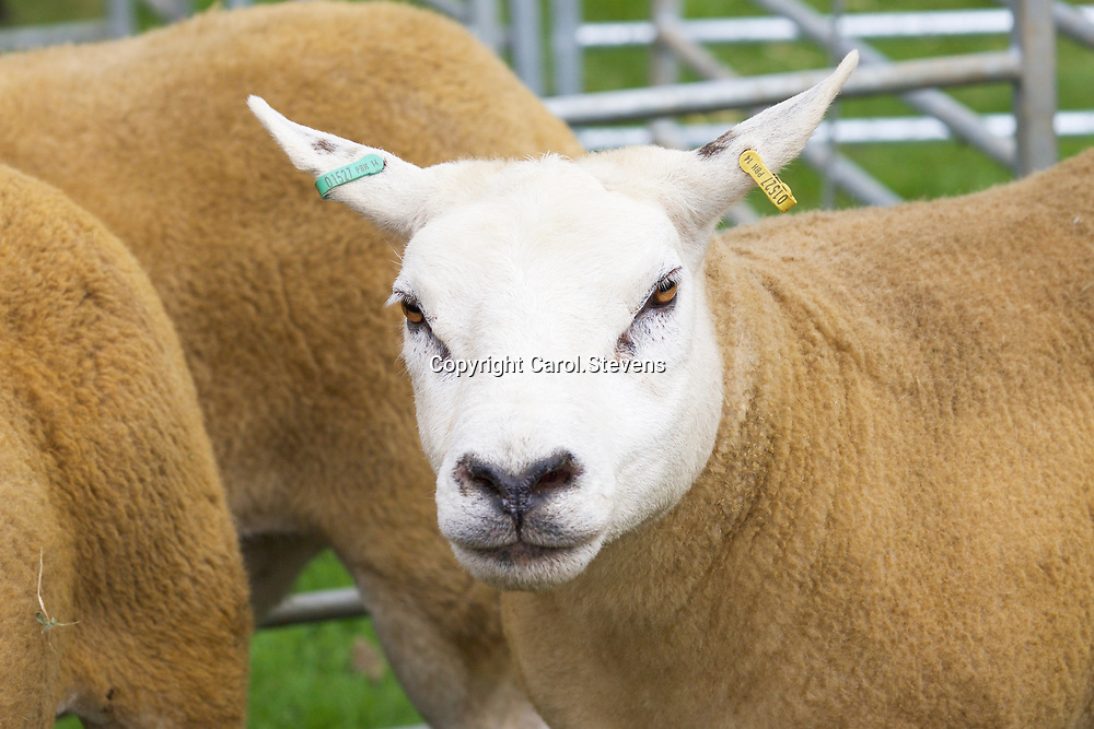 Sheep competitors  Aldorough & Boroughbridge Agricultural Show 2017, Newby Hall, North Yorkshire