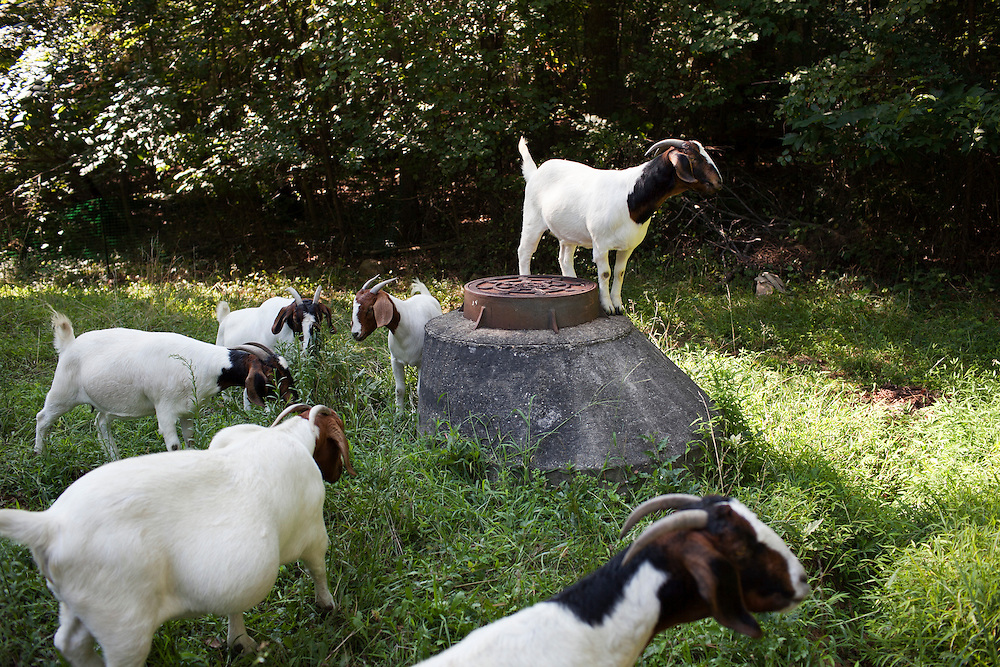 A herd of Boer goats hired through Rent-A-Goat graze around a lot-side easement in Chapel Hill, N.C., Thurs., July 22, 2010...D.L. Anderson for The Wall Street Journal..GOATS
