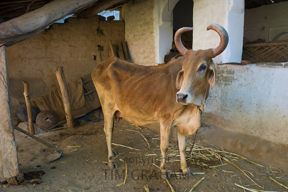 Cow with curved horns in home farm in Narlai village in Rajasthan, Northern India