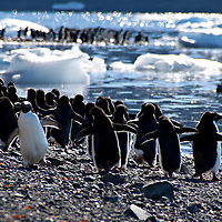 An Adelie penguin running in the opposite direction of the rest of its colony.  The photograph was taken in Antarctica.