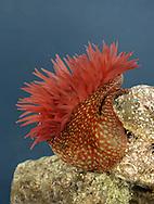 Strawberry Anemone - Actinia fragacea