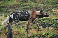 Kruger National Park, Mpumalanga, South Africa, september 2011. A pack of African wild dogs hunt for prey in the bush. Bordered by Mozambique and Zimbabwe, Krugerpark is about 65km wide and 350km long. It is south Africa's largest National Park and one of the world's best known nature conservation areas. From your own vehicle, on tarmac and dirt roads, you can get up close and personal experiences with the enormous wildlife diversity. Photo By Frits Meyst/Adventure4ever.com.