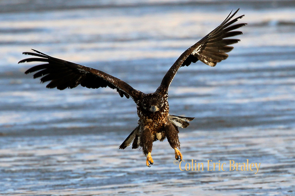 Haliaeetus leucocephalus-A juvenile Bald Eagles gather in Farmington Bay,  Utah, March, 2011.  Colin E Braley (Wild West-Media)
