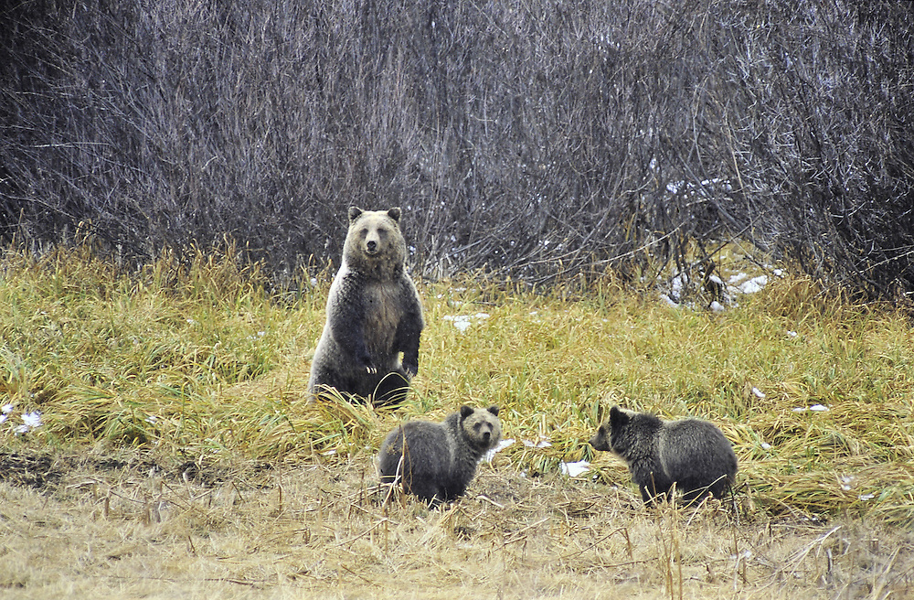 This sow and her 2 cubs are almost ready for hibernation. Wyoming