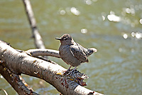 You can find the American Dipper in most rivers and streams in the western United States.