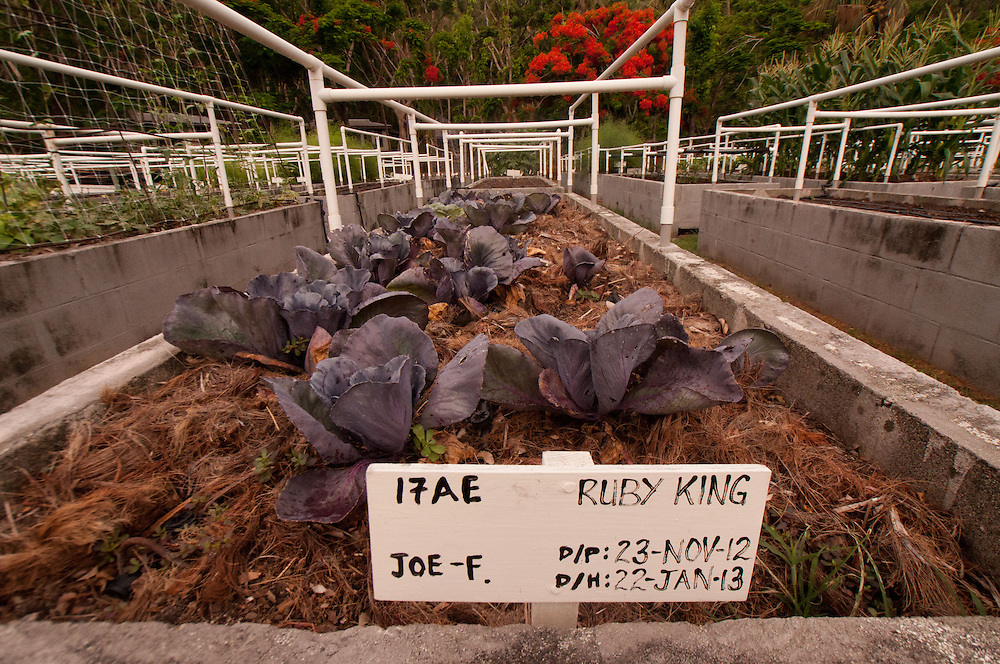 Ruby King Growing in the Organic Garden, Turtle Island, Yasawa Islands, Fiji