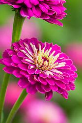 Zinnia 'Giant Purple'