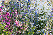 Pink, Blue and white flowers in a wild flower border or urban meadow by Pictoral Meadows Ltd, Manor Lodge, Sheffield, UK