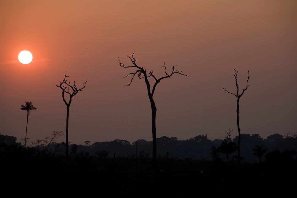 Para State, Brazil. September 1st 2007. BR 163 on Castelo do Sonhos municipality (Brazilian Amazon). Burnt Brazilian nut trees (castanheiras).