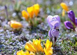 THEMENBILD - eine Biene sitzt auf einem Krokus (Iridaceae), aufgenommen am 13. März 2018, Piesendorf, Österreich // a bee sits on a crocus (Iridaceae) on 2018/03/13, Piesendorf, Austria. EXPA Pictures © 2018, PhotoCredit: EXPA/ Stefanie Oberhauser