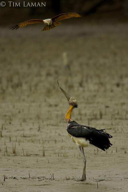 A Brahminy Kite  (Haliastur indus) dives at a Lesser Adjutant Stork (Leptoptilos javanicus) that has just pulled a large worm out of the mud on the bank of a mangrove channel.  The stork holds the worm in its beak and defends itself with its large beak..Sundarban Forest, Khulna Province, Bangladesh.