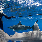 Bahamas Shark Diving Economic Value