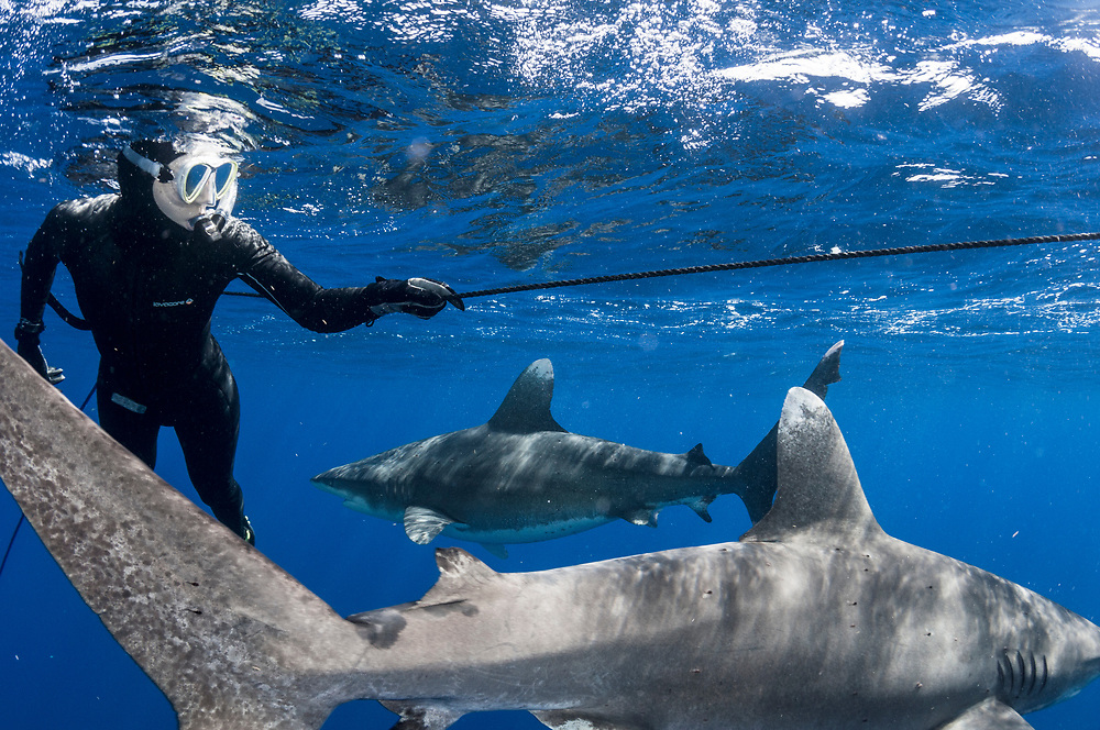 Oceanic whitetip sharks were once the most ubiquitous shark in the ocean, but overfishing has cut their numbers by an estimated 99%. The Bahamas is one of the last places on Earth to reliably see these open ocean predators.
