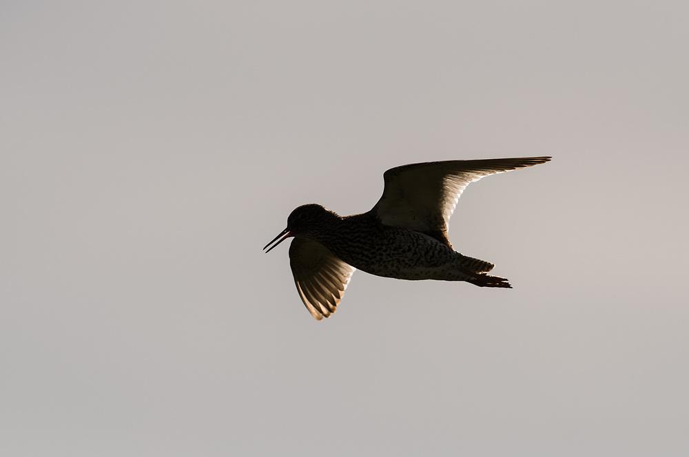 Redshank in flight, Iceland