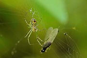 Venusta Orchard Spider - Leucauge venusta on web with prey in background