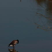 A goose inspecting its reflection in one of the ponds at the Riparian Preserve in Gilbert, AZ