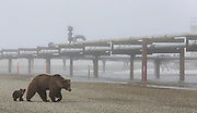 A curious bear cub stops for a look while following his mother on a drill site pad in Prudhoe Bay Alaska.