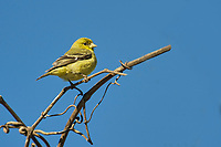 American Goldfinch (Carduelis tristis) female perched in tree,  Healdsburg, California, USA