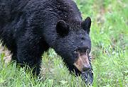 A black bear (Ursus americanus) prowls through the grass, Yellowstone National Park, Wyoming.