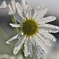 Mayweed late in autumn