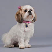 Cuddly red and white Shih Tzu with bow and collar seated on gray background