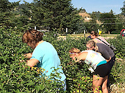 Strawberry Harvesting!
