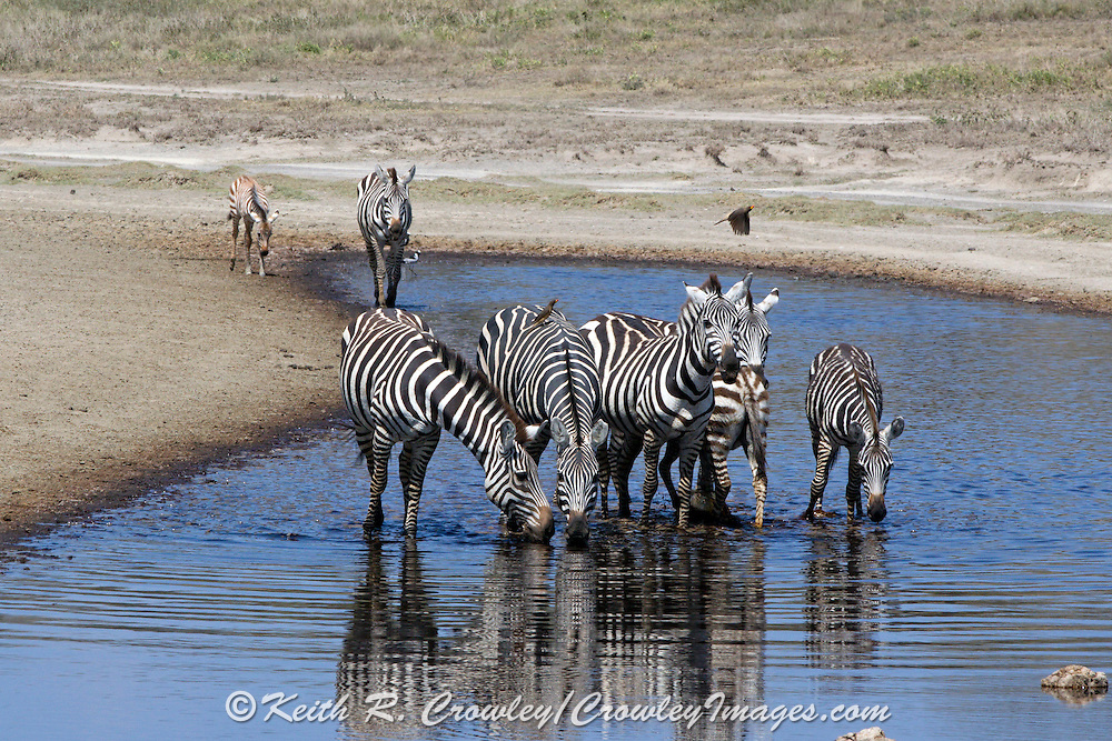 Zebra drink at a water hole in East Africa.