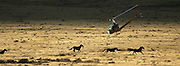 (WILD HORSE GATHE NEVADA) Cold Springs, Nevada Oct. 24, 2006 <br />  A BLM contractor uses a helicopter to gather wild horses on Oct. 24, 2006 at the Clan Alpine Herd Management area North of Highway 50 in Central Nevada. (Suarez, Essdras M/ Globe staff)/ Travel