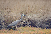 White-faced Heron at wetlands at Pauatahanui, Wellington, New Zealand