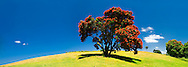 Pohutukawa trees in flower. Tawharanui Regional Park. New Zealand<br /> For use of this image please contact; http://www.photonewzealand.com/search/preview/pohutukawa-trees-in-flower-at-tawharanui/0_00222929.html