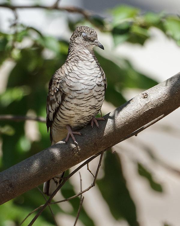 Columbina squammata, Pantanal, Brazil