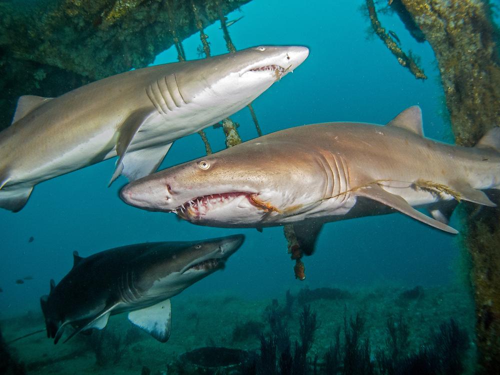 Sand Tiger sharks on the shipwreck Aeolus, NC