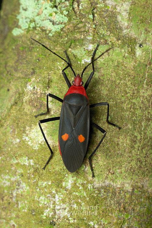 Pyrrhocoridae is a family of insects with more than 300 species world-wide. .
