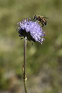 Bee on a flower, Durmitor, Montenegro.