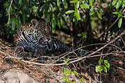 Jaguar (Panthera onca palustris) resting on the banks of Cuiabá River, Pantanal, Brazil.