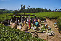 Kenya, Kericho county, Kericho, collecte et pesage du thé // Kenya, Kericho county, Kericho, tea collect and weighing