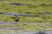 Banded Dotterel, New Zealand