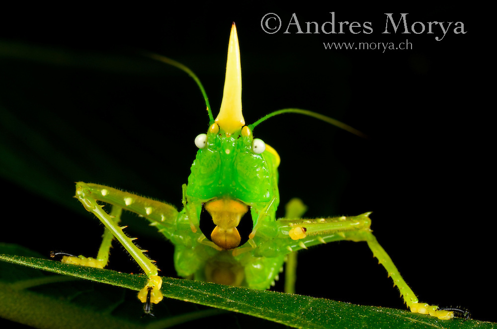 Long-horned Katydid. Family Tettigoniidae, Costa Rica Image by Andres Morya