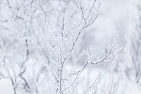 Snow & ice on bare trees near Fairbanks, Alaska.