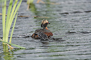 Horned Grebe with Chick getting on back